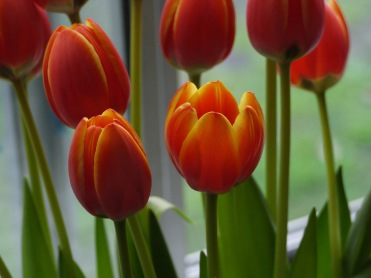 Tulips are Best